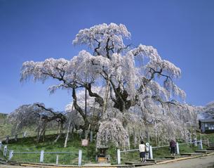 三春の滝ザクラ(天然記念物)  福島県の写真素材 [FYI03189758]