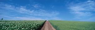 ジャガイモの花と麦畑と道   美瑛町 北海道の写真素材 [FYI03189766]