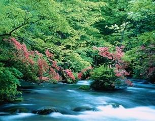 ツツジ咲く奥入瀬渓流 青森県の写真素材 [FYI03189779]