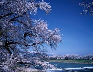 白石川堤の桜並木と蔵王連峰   宮城県の写真素材 [FYI03189791]