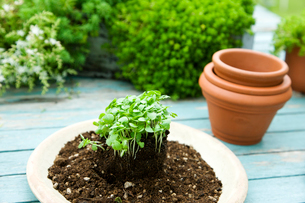 スイートバジルの苗と植木鉢の写真素材 [FYI03190799]