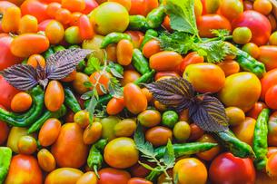 採れたてのトマトとシシトウの写真素材 [FYI03190936]