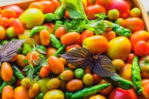 採れたてのトマトとシシトウの写真素材 [FYI03190940]