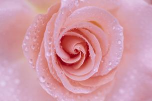 水滴の付いたピンク色のバラの写真素材 [FYI03191181]