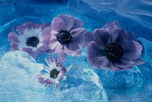 アネモネ(青)の写真素材 [FYI03191205]
