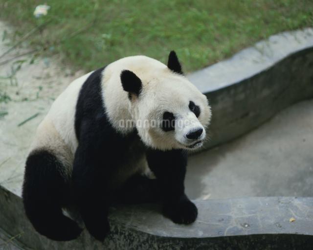 塀に座るパンダ 中国の写真素材 [FYI03191638]