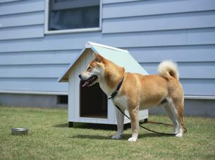 犬小屋の前の柴犬の写真素材 [FYI03191766]