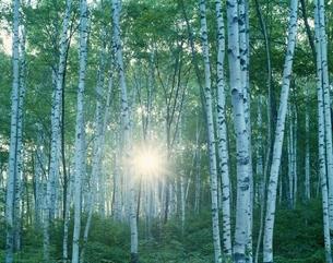 朝日と白樺林の写真素材 [FYI03191958]