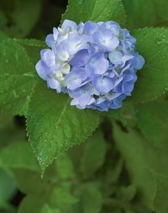アジサイの花の写真素材 [FYI03192010]