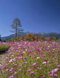 コスモス咲く高原と乗鞍岳  長野県の写真素材 [FYI03192087]