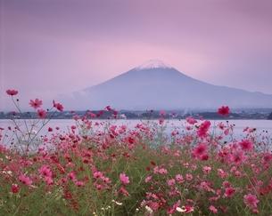 コスモス咲く河口湖と富士山の夕景 山梨県の写真素材 [FYI03192096]