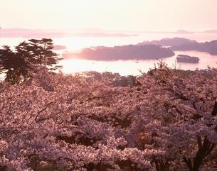 朝の松島湾と桜 宮城県の写真素材 [FYI03192113]