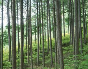 初夏の阿寺渓谷の新緑の桧林 大桑村 長野県の写真素材 [FYI03192245]