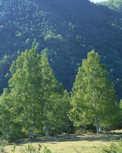 初夏の新緑の白樺 乗鞍 安雲村 長野県の写真素材 [FYI03192250]