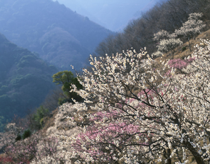 冬の幕山公園と湯河原梅林 湯河原町 神奈川県の写真素材 [FYI03192257]