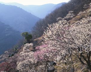 湯河原梅林  神奈川県の写真素材 [FYI03192267]