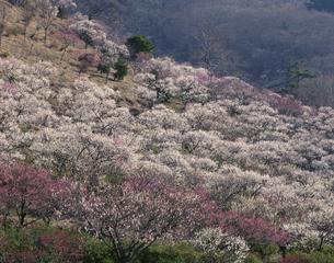 湯河原梅林  神奈川県の写真素材 [FYI03192276]