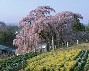菜の花畑と三春の滝桜  福島県の写真素材 [FYI03192309]