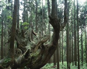 21世紀の森の株杉と杉林   板取村 岐阜県の写真素材 [FYI03192324]