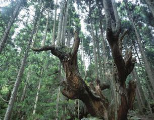 21世紀の森の株杉と杉林   板取村 岐阜県の写真素材 [FYI03192334]