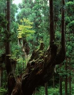 株杉と杉林    板取村 岐阜県の写真素材 [FYI03192336]