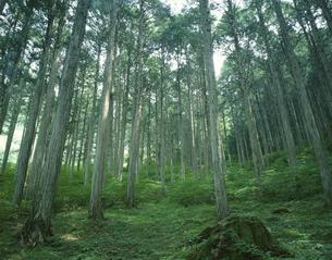 新緑の木曽ヒノキ 初夏 南木曽 長野県の写真素材 [FYI03192496]