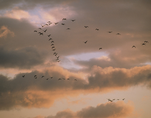 夕暮れの空を飛翔する雁 宮城県,若柳町の写真素材 [FYI03192621]