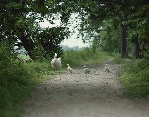 小道を歩くハクチョウの親子 新潟県の写真素材 [FYI03192634]