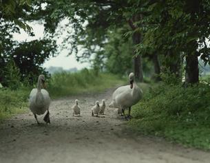 小道を歩くハクチョウの親子 新潟県の写真素材 [FYI03192642]