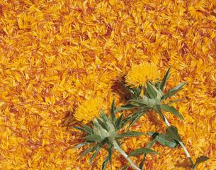 ベニバナの花(オレンジ色)の写真素材 [FYI03192667]