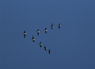 青空を飛翔する雁   伊豆沼付近 宮城県の写真素材 [FYI03192704]