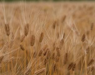 大麦の写真素材 [FYI03192712]