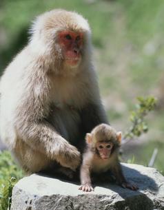サルの親子 山ノ内町 長野県の写真素材 [FYI03192718]