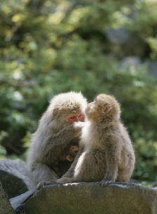 寄りそう2匹のサル 山ノ内町 長野県の写真素材 [FYI03192725]