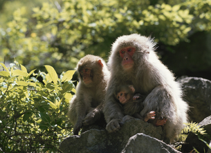 サルの親子 志賀高原 長野県の写真素材 [FYI03192758]