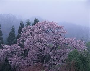 山桜の咲く風景 秋田県の写真素材 [FYI03192784]