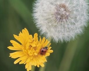 タンポポの花とてんとう虫 日高 北海道の写真素材 [FYI03192816]