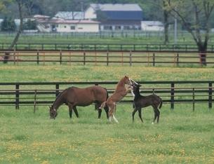 牧場の馬の親子 北海道の写真素材 [FYI03192826]