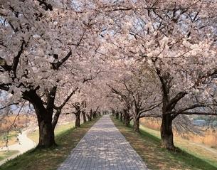 背割堤桜公園の桜の並木道  京都の写真素材 [FYI03192938]