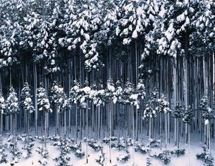 雪のつもった北山杉 京都の写真素材 [FYI03192946]