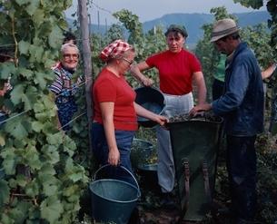 葡萄を収穫する人々  モーゼル ドイツの写真素材 [FYI03193555]