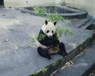 笹を食べるパンダ 中国の写真素材 [FYI03193565]