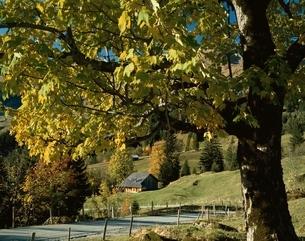 グリンデルワルドの黄葉 スイスの写真素材 [FYI03193585]