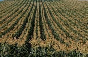 トウモロコシ畑の写真素材 [FYI03194571]