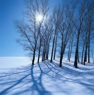 ポプラの木と太陽   美瑛 北海道の写真素材 [FYI03194787]