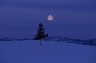クリスマスツリーの木と朝の月  美瑛 北海道の写真素材 [FYI03194859]