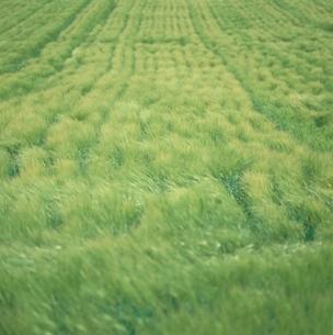 風に揺れるビール麦  上富良野 北海道の写真素材 [FYI03194872]