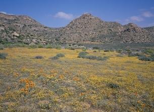 ナマクアランドの花園 南アフリカの写真素材 [FYI03194992]