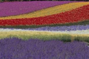 にじ色の花畑の風景 中富良野 北海道の写真素材 [FYI03195014]