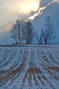 白樺と麦の刈り跡の写真素材 [FYI03195562]